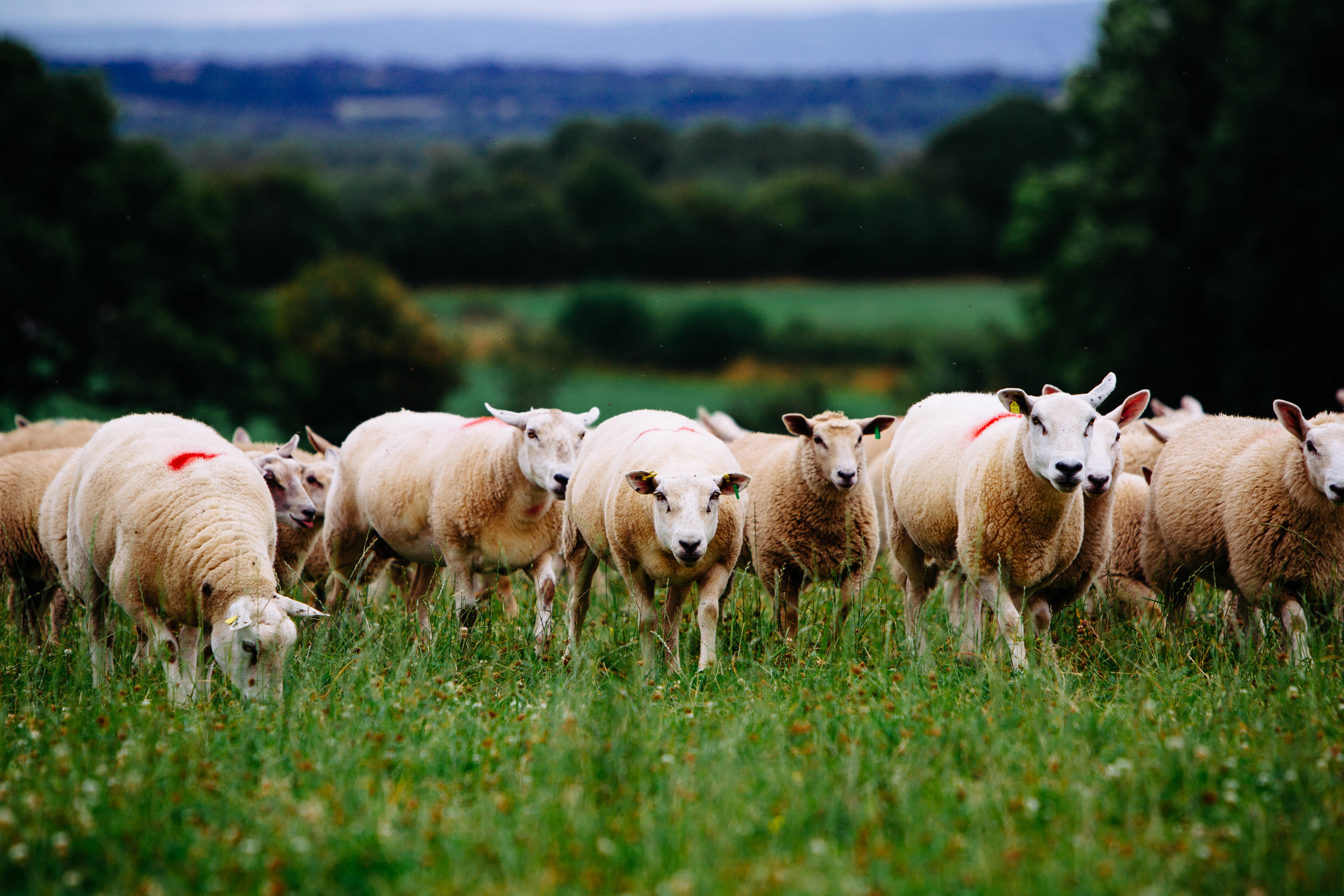 Quality Assurance and Sustainability: Giving an edge to Irish Lamb